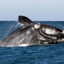 whale-watching-gaansbaai